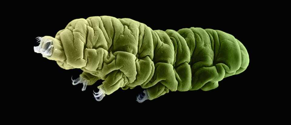 Tardigrades are one of the toughest beings on the planet