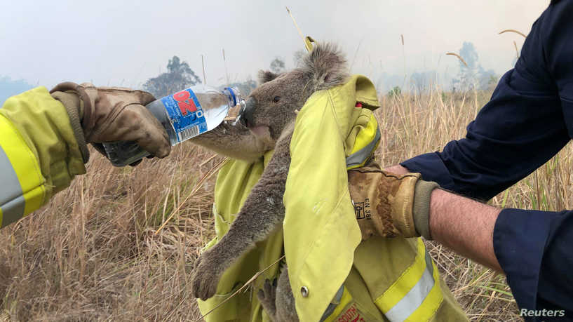 Firefighters give water to a thirsty Koalas (Credit: PAUL SUDMALS/via REUTERS)