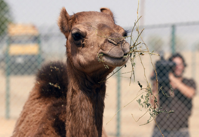 The camels have somewhat become a huge problem for locals as they freely roam the streets searching for water.