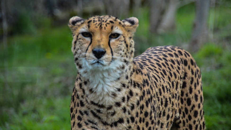 African cheetahs are on the brink of extinction