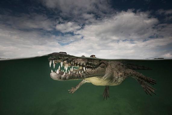 American_crocodile_smile_Matthew_Smith_2015-06-02.jpg
