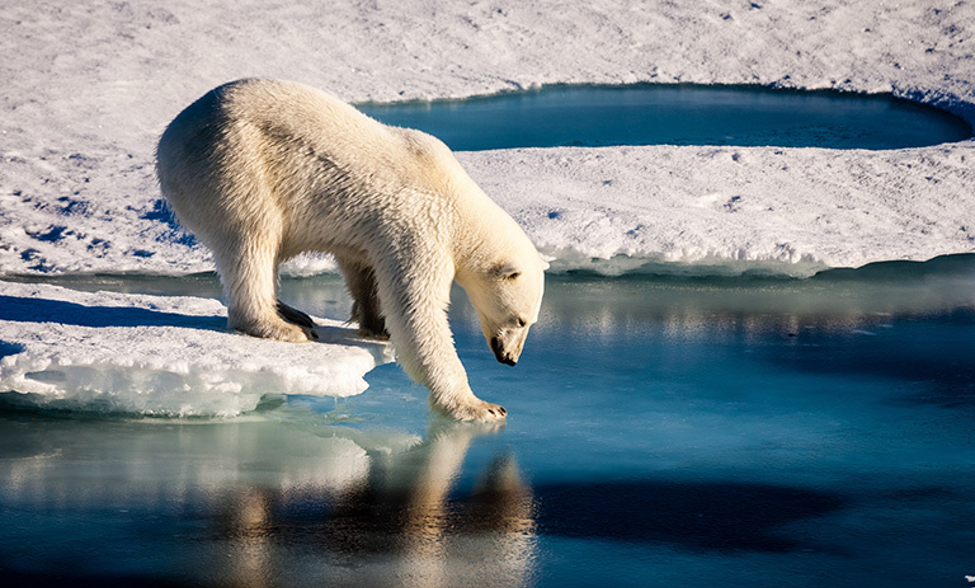 A polar bear standing next to a body of water  Description automatically generated