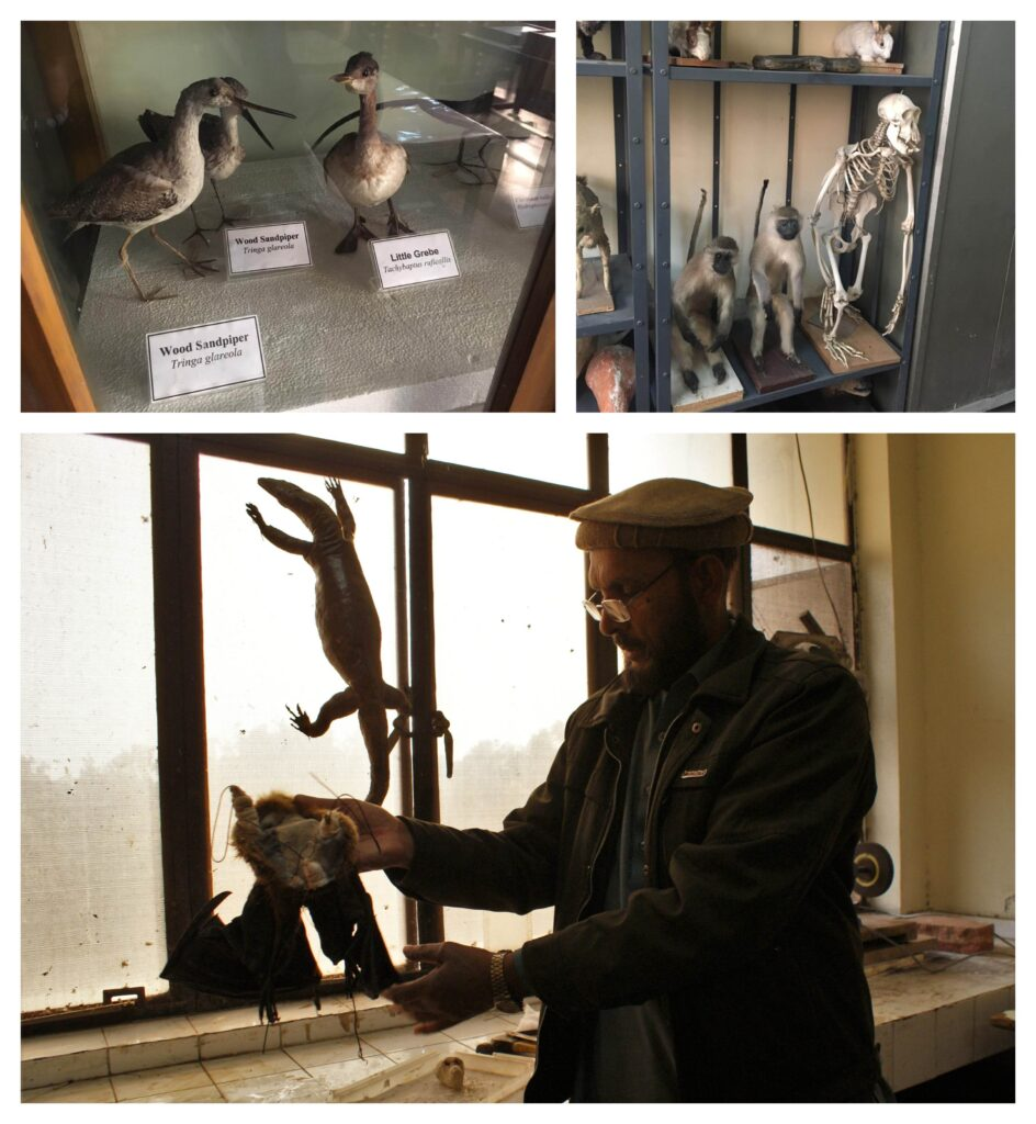 (Top Left and Right) Taxidermy mounds in the Zoological Section of the Museum; (Bottom) The taxidermy of a bat is being performed